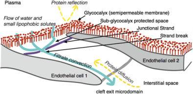 Workshop on how to understand the glycocalyx (WS2)